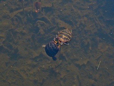 First spring sighting of Painted turtles (Chrysemys picta).