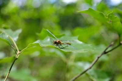 Common darter (Sympetrum striolatum), female.