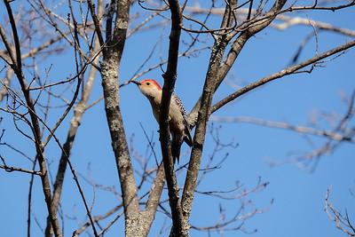 Red Bellied Woodpecker (Melanerpes carolinus) male.