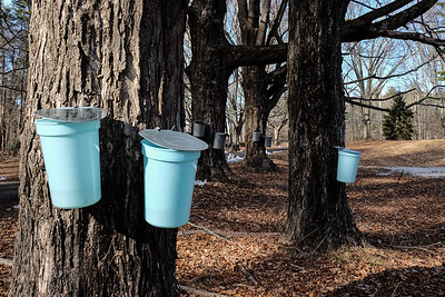 Maple tapping.