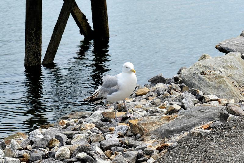 Herring Gull waiting for food.