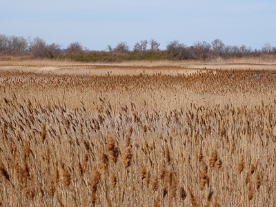 Reed Grass - Phragmites australis.