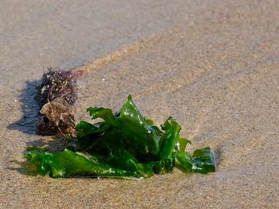 Glossy green kelp.