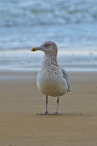 American Herring Gull  - Larus argentatus, non-breeding adult.