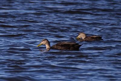 American Black Duck - Anas rubripes, female.