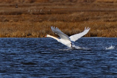 Mute Swan - Cygnus olor.