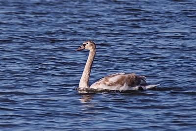 Immature Mute Swan - Cygnus olor.