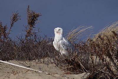 Snowy Owl - Bubo scandiacus, adult female/immature male.