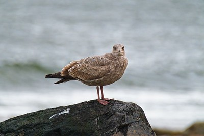 Herring Gull - Larus argentatus, second winter plumage.