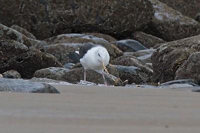Lunchtime...Herring Gull - Larus argentatus.