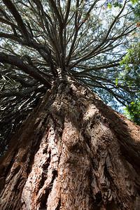 Giant Sequoia - Sequoiadendron gigantium.