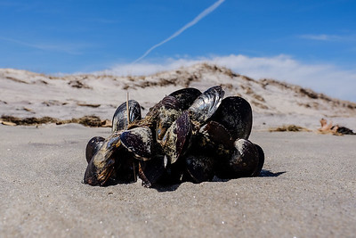 Mussels washed ashore.