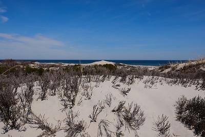 Junipers growing on the dunes.