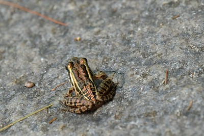 A Pickeral Frog (Rana palustris).