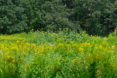 A sea of yellow. Overlooking goldenrod and sunflowers.
