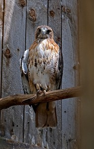 Red-tailed Hawk (Buteo jamaicensis), a resident at the raptor mews.