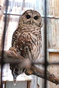 Eight Hooter or Barred Owl (Strix varia), a resident at the raptor mews.