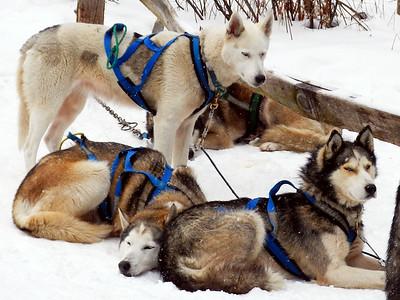 Peace Pups Dogsledding - Lake Elmore, VT.