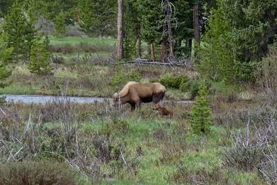 Moose - Alces alces shirasi, with cub.