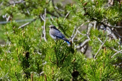 Mountain Bluebird - Sialia currucoides, male.