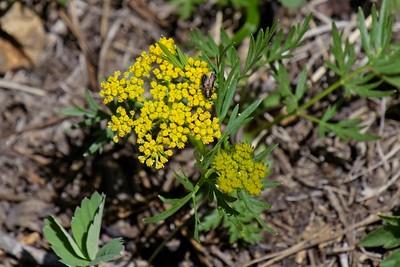 Mountain Parsley - Pseudocymopterus montanus.