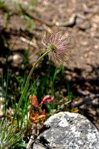 Eastern Basque Flower, mature seed head - Pulsatilla patens.