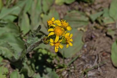 Two Leaf Groundsel - Pachera dimorphophylla.