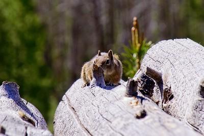 Golden-Mantled Ground Squirrel - Callospermophilus lateralis.
