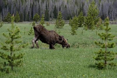 Moose - Alces alces shirasi.