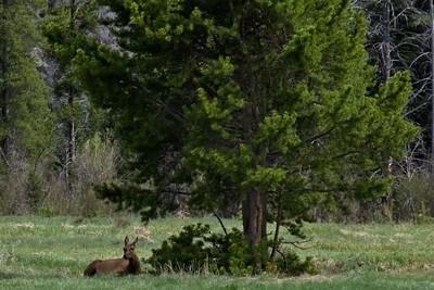 Rocky Mountain Elk - Cervus canadensis nelsoni.