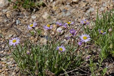 Western Mountain Aster - symphyotrichum spathulatum.