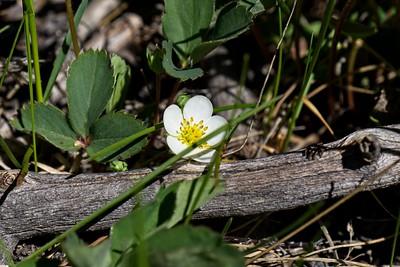 Wild Strawberry - Fragaria virginiana.