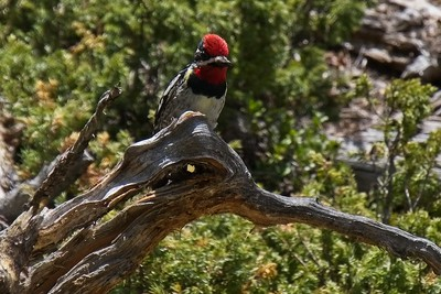 Red-naped Sapsucker - Sphyrapicus nuchalis.