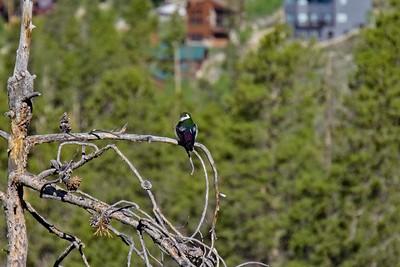 Violet-green swallow - Tachycineta thalassina.