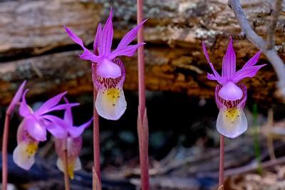 Caylpso Orchid (Fairy Slipper) - Calypso bulbosa.
