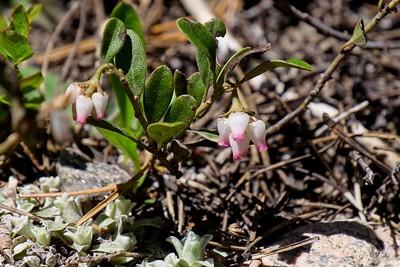 Bearberry (Kinnikinik) - Arctostaphylos uva-ursi.
