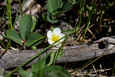 Wild Strawberry - Fragaria virginiana.