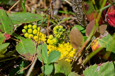 Creeping Oregon grape holly -  Mahonia repens.