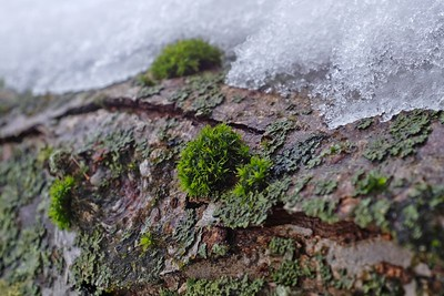 Moss peeking thru the ice.