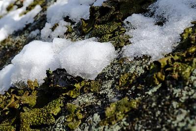 Lasallia papulosa (Toadskin Rock Tripe lichen).