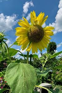 A giant Sunflower.