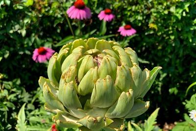 An ornamental artichoke.