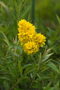 Swamp Candles (Lysimachia terrestris).