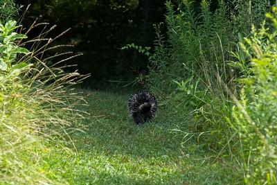 Trail buddy.....not, North American porcupine (Erethizon dorsatum).