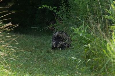 Taking another route. North American porcupine (Erethizon dorsatum).