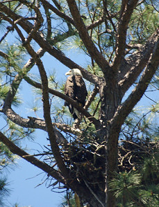 Bald Eagle, Jamestown