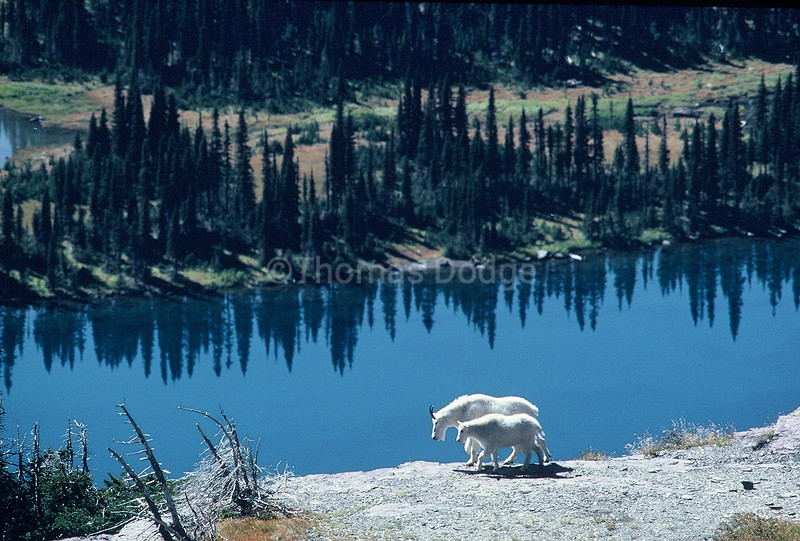Rocky Mountain Goat and offspring, Glacier National Park, MT.