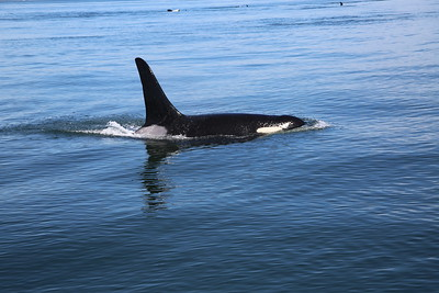 2014-09 Whale Watching (Orcas Island)