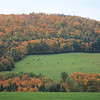 Abundant New England foliage, green pastures and Vermont COWS.