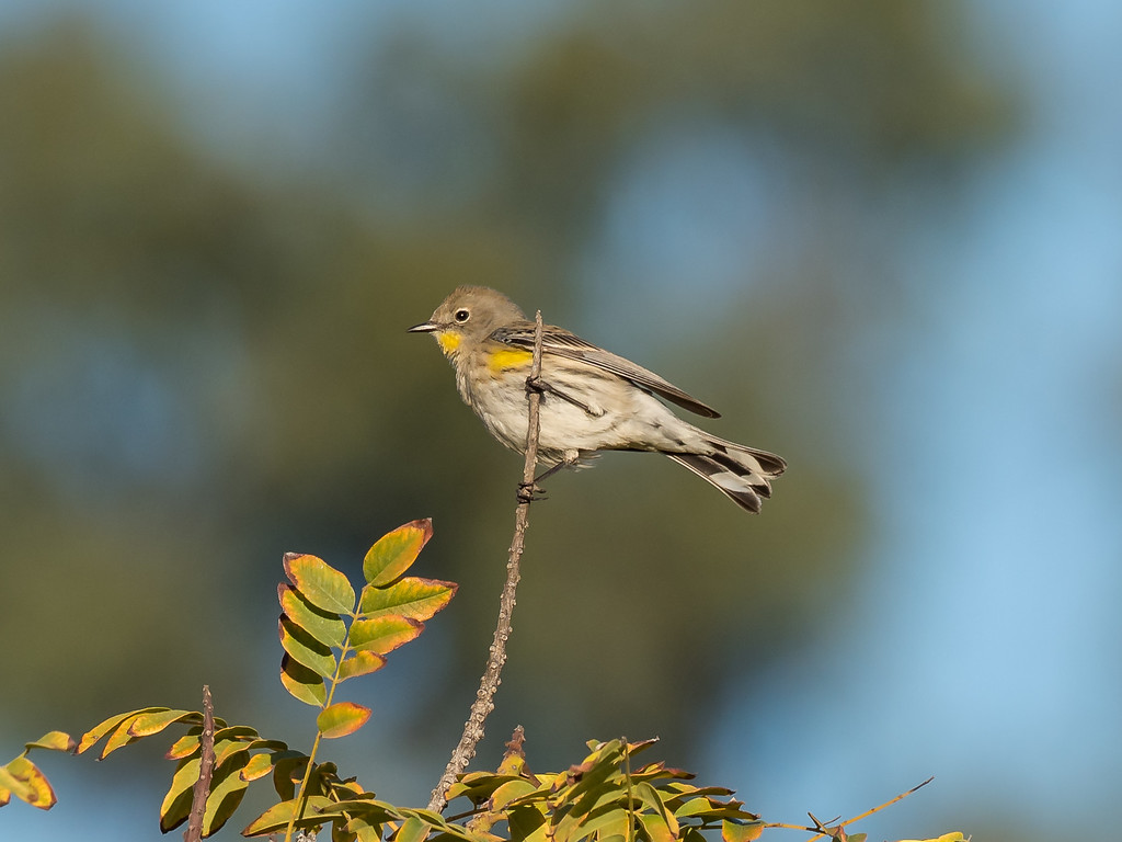 Yellow-rumped Warbler (f)